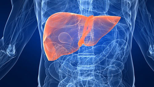 functinal-liver-cells